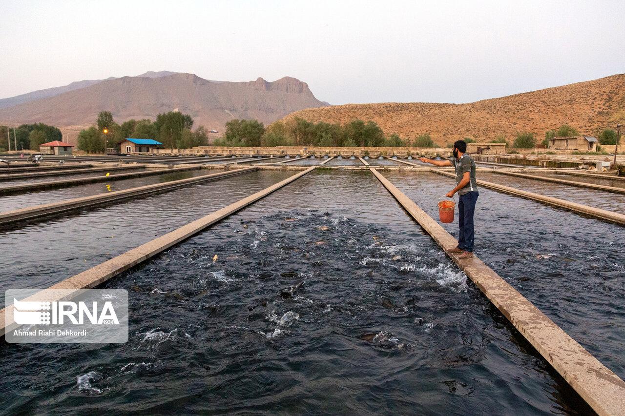 فصل برداشت ماهیان سردآبی در سیستان و بلوچستان آغاز شد