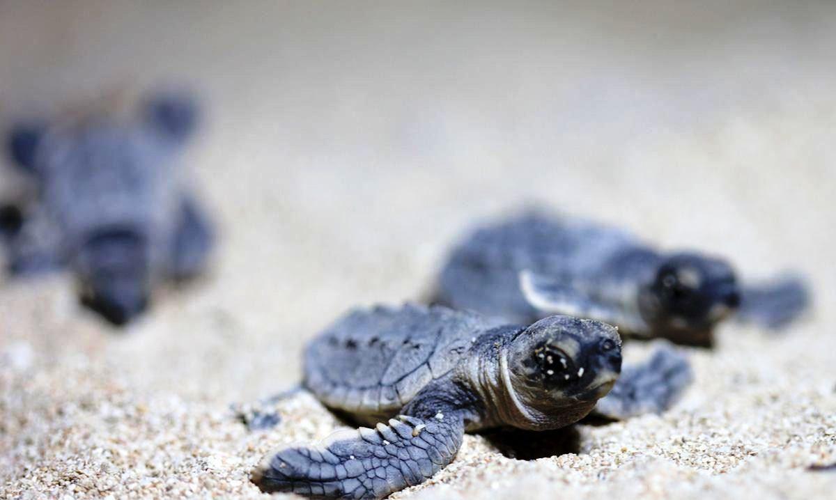 طرح پایش و آماربرداری لاکپشتهای دریایی در بوشهر آغاز شد