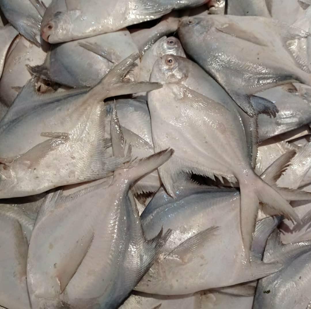 صید ماهی حلوا سفید در صیدگاههای خوزستان آزاد شد