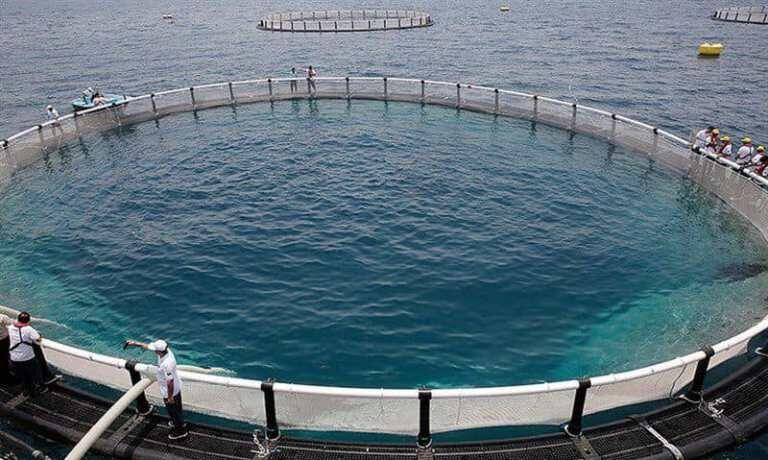 دومین مزرعه پرورش ماهی در قفس گناوه وارد مدار تولید شد