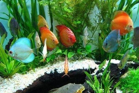 راه اندازی خوشههای پرورش ماهیان زینتی همدان در آینده نزدیک