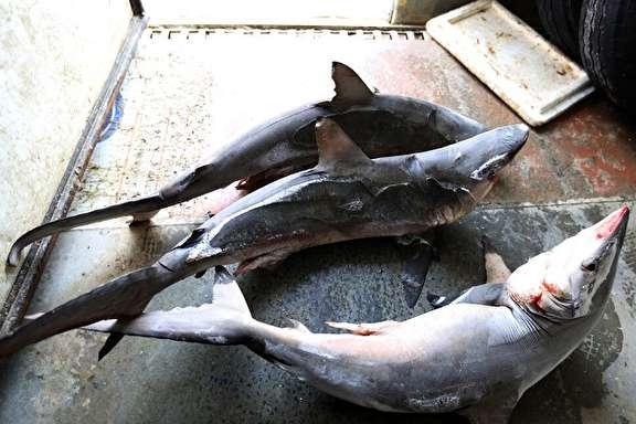 صید کوسه در خلیج فارس و دریای عمان غیر قانونی است/ پرونده متخلفان به مراجع قضایی ارسال می شود