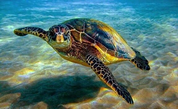لاک پشت دریایی در حال انقراض