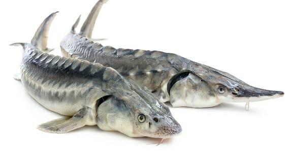 رشد خوب هرمزگان در پرورش ماهیان خاویاری