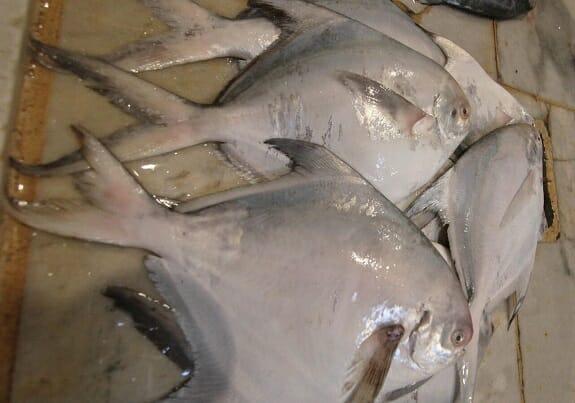 صید ماهی حلواسفید در آبهای خوزستان و بوشهر آزاد شد