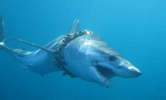 انقراض کوسه سلطان دریا و اقیانوس ها