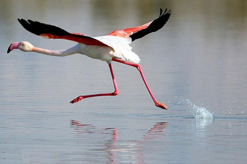 فلامینگو در زیستگاه ساحلی حیات مُند برای پرندگان دریایی در بندر دیر