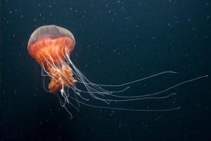 دانشمندان سرعت شنا کردن عروس دریایی را افزایش دادند