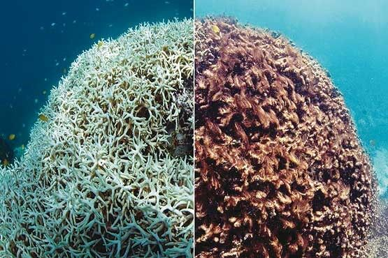 آبسنگهای مرجانی جزیره خارک جان میگیرند