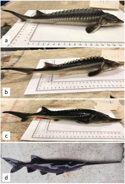 خلق تصادفی یک ماهی ترکیبی از ۲ گونه در خطر انقراض
