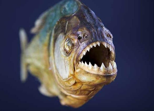 وجود ماهی گوشت خوار در تالاب انزلی