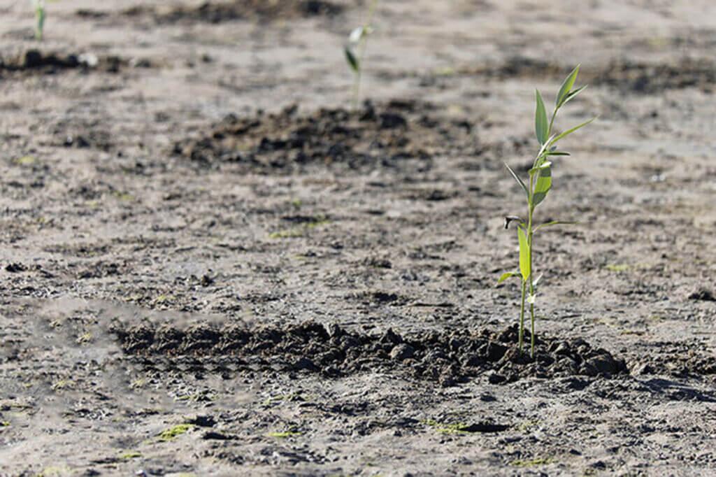 بذر دهی جنگل های حرا در قشم