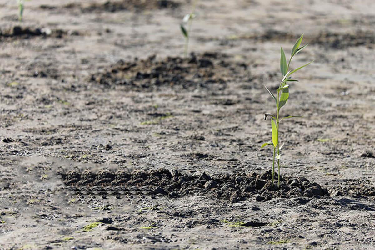 بذر دهی جنگل های حرا در قشم آغاز شد