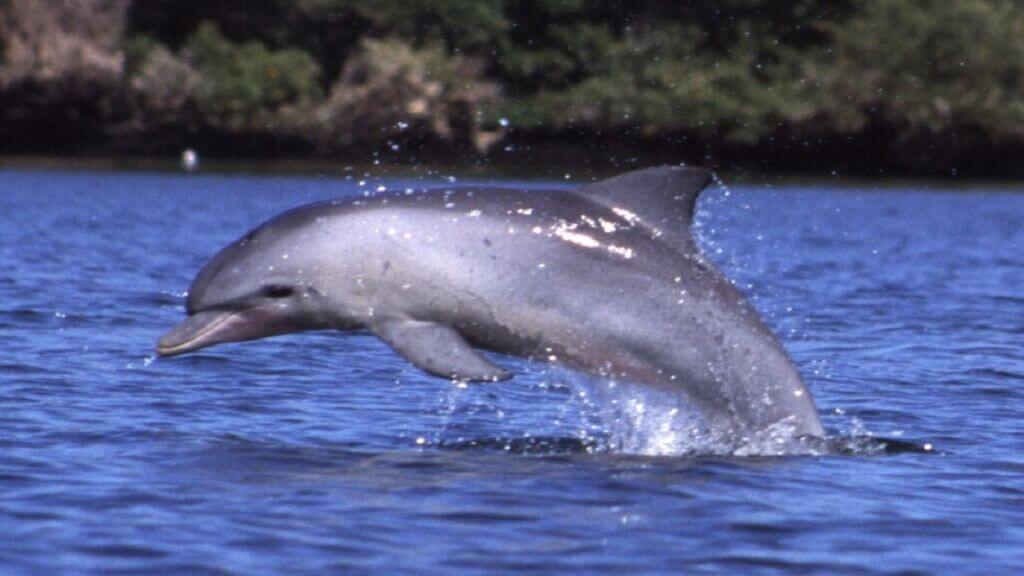 دلفین گوژپشت خلیجفارس