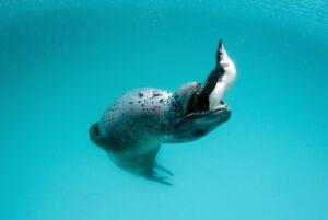 فک آبی در حال شکار پنگوئن