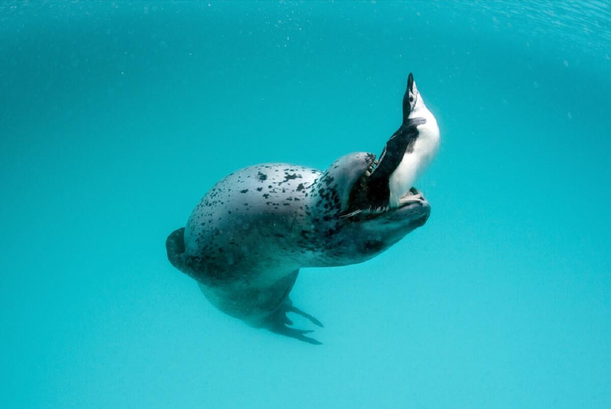 پنگوئنها هنگام شکار در زیر آب آواز میخوانند