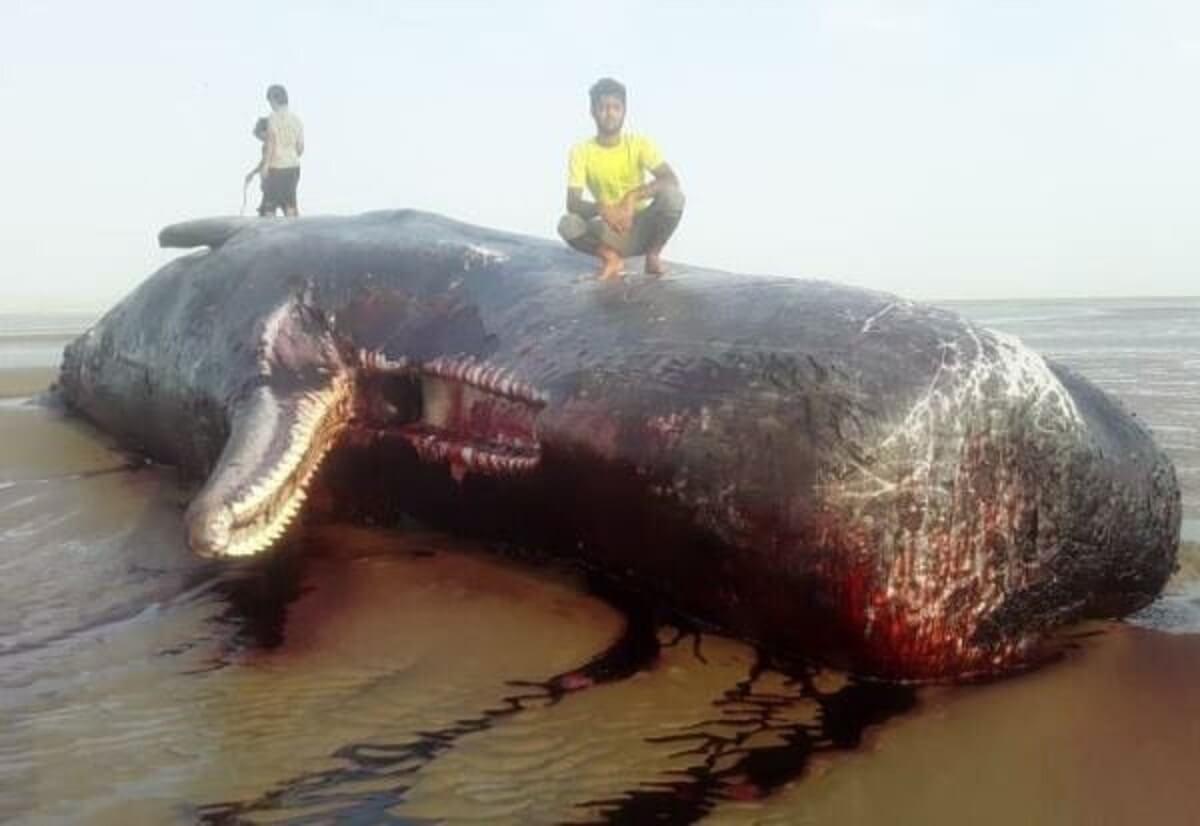 مرگ نهنگ غولپیکر در ساحل بریزیگ شهرستان سیریک