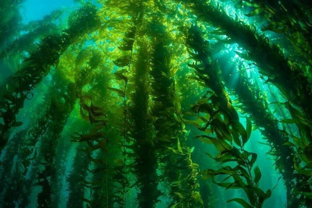 مزارع جلبک دریایی برای تولید انرژی