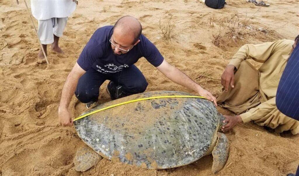 پایش لاکپشتهای دریایی چابهار