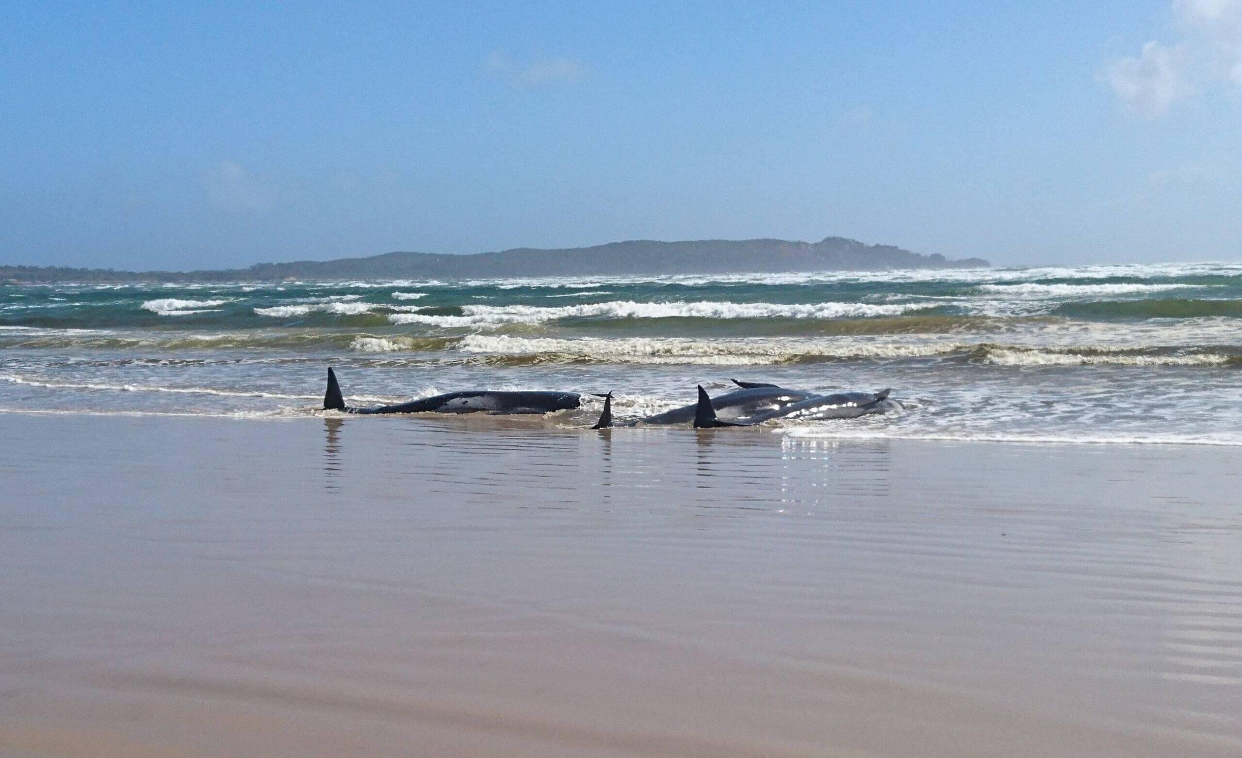 علت مرگ دومین نهنگ کیش مشخص نیست