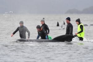 به ساحل زدن و خودکشی و مرگ نهنگ ها در جزیره تاسمانی استرالیا