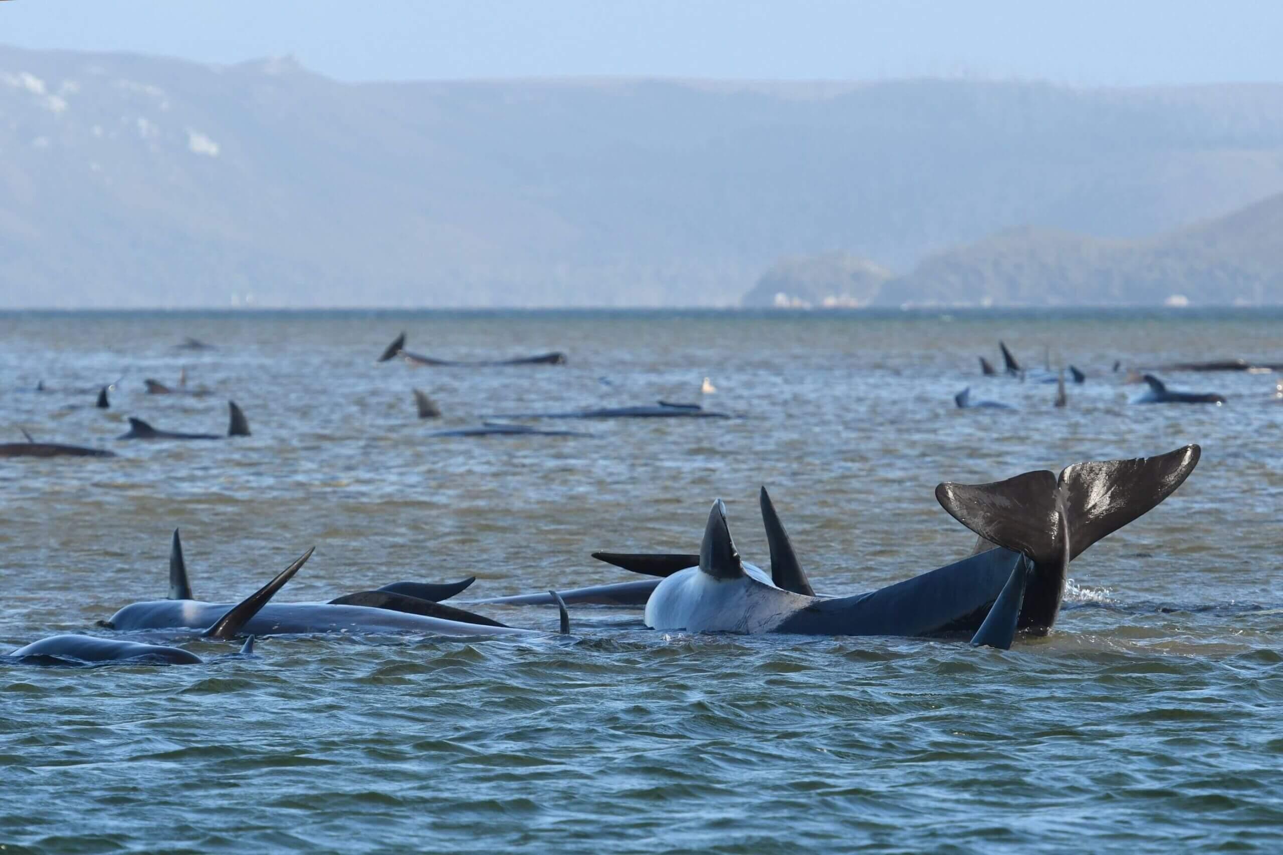 نهنگها و دلفینها در معرض خطر جدی و فوریِ انقراض