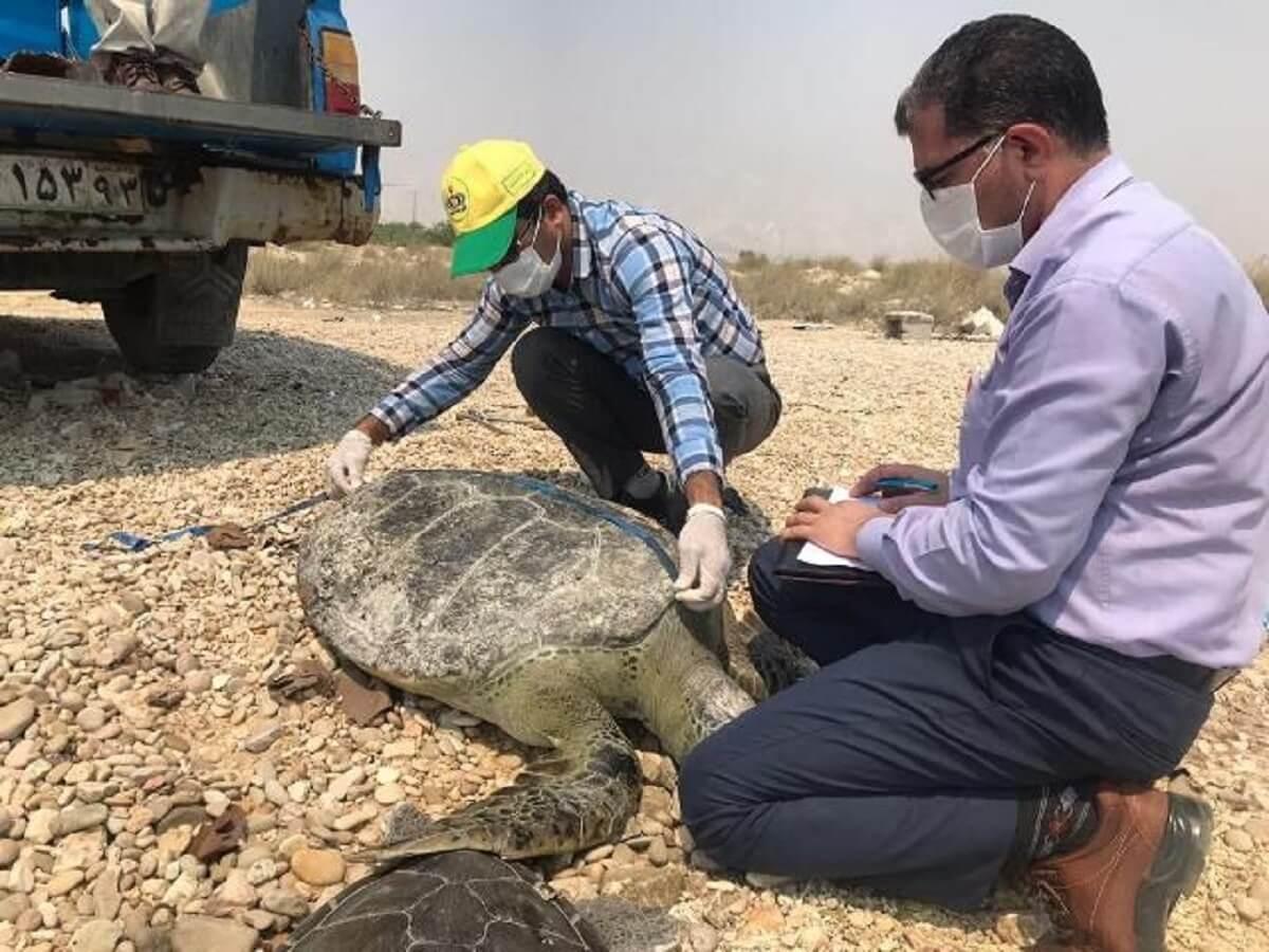 رهاسازی لاکپشتهای سبز در ساحل پارک ملی دریایی نایبند بندر عسلویه