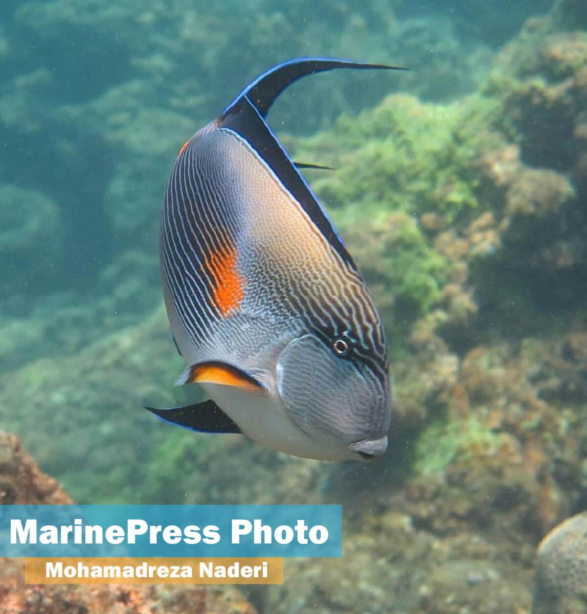 فرشته ماهی از ماهیان خلیج فارس