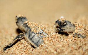 زیستگاه لاک پشت های دریایی جزیره کیش در ایران