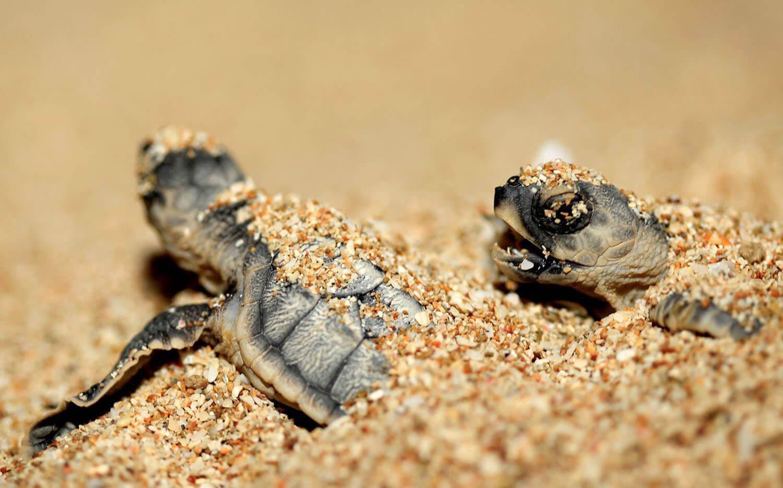 آشنایی با لاکپشتهای دریایی کیش