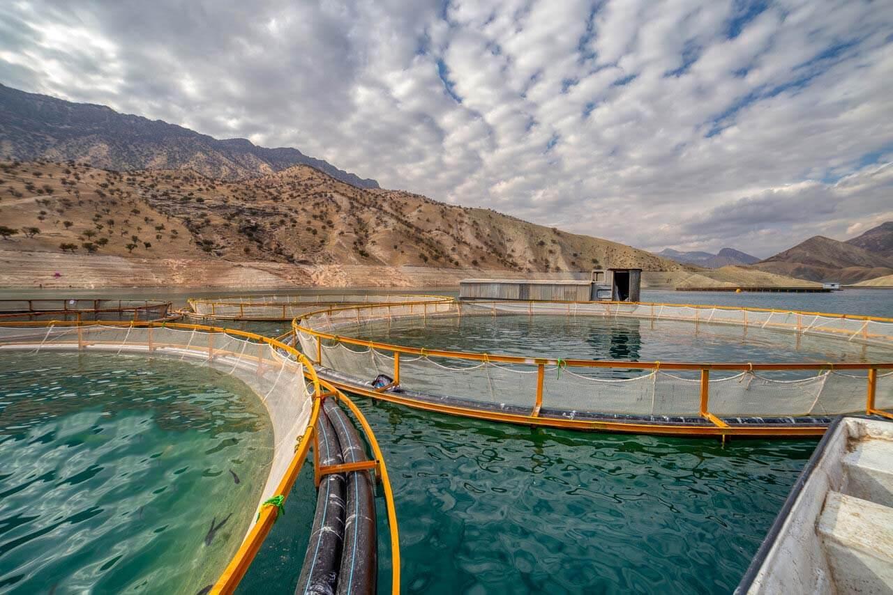 تزریق بچه ماهی به قفسهای پرورش ماهی در دریا در بندر آفتاب